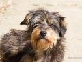 Cães Adoção (2)