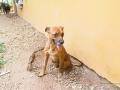 Cães Adoção (33)