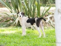 Cães Adoção (43)