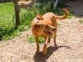 Cães Adoção (47)